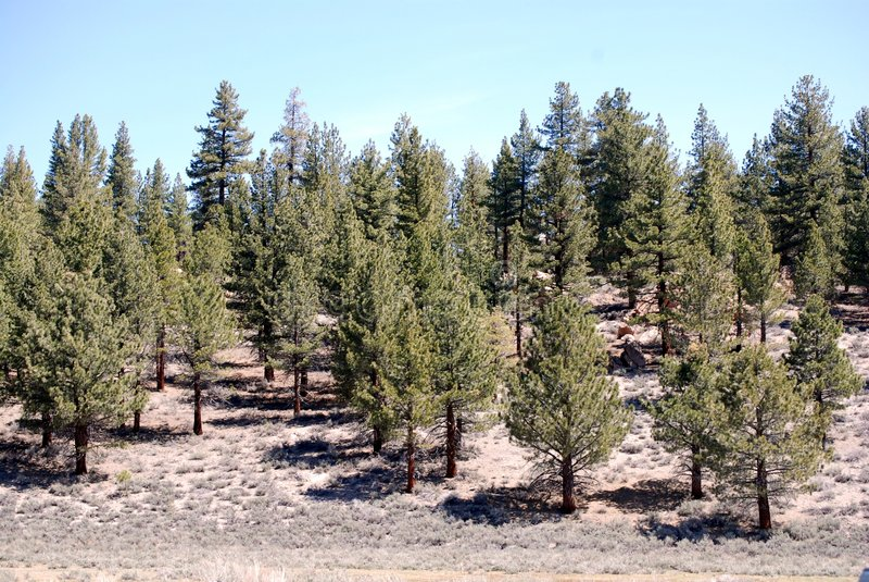 Download Pine trees stock image. Image of green, white, horizon - 6302249