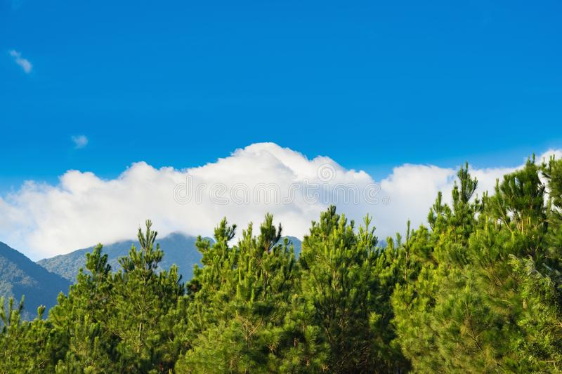 Pine trees against clear blue sky and white cloud in mountainous region.  stock photography