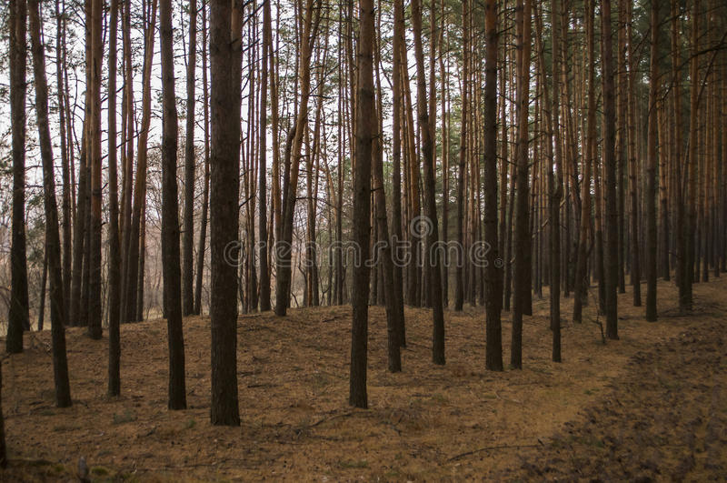 Pine trees in the autumn forest. Fall evening in brown colors stock image