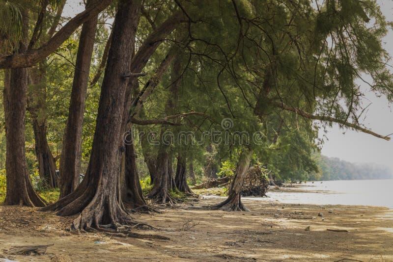 Pine trees on the beach. Pak Meng Beach, Chao Mai Beach National Park, Trang, Thailand.  stock image