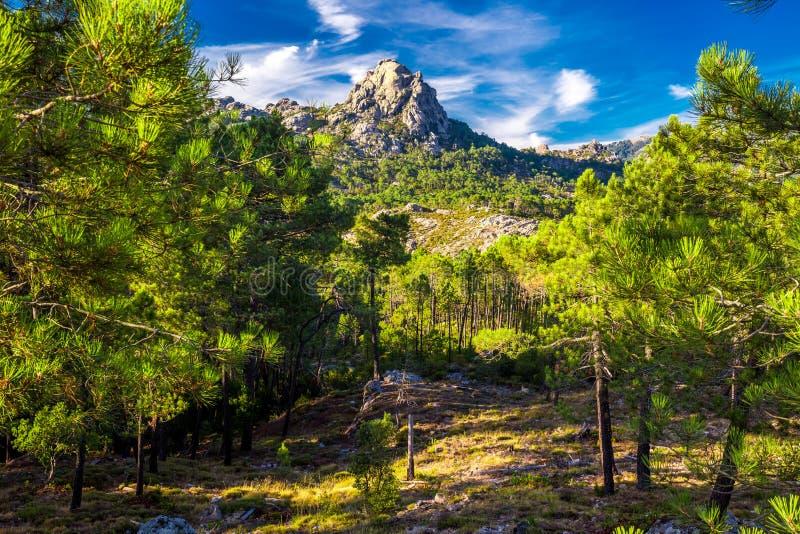 Pine trees in Col de Bavella mountains, Corsica island, France, stock photo