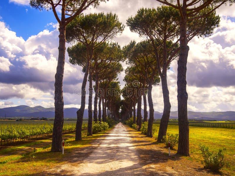 Pine trees, country road and vineyard. Maremma, Tuscany, Italy stock image