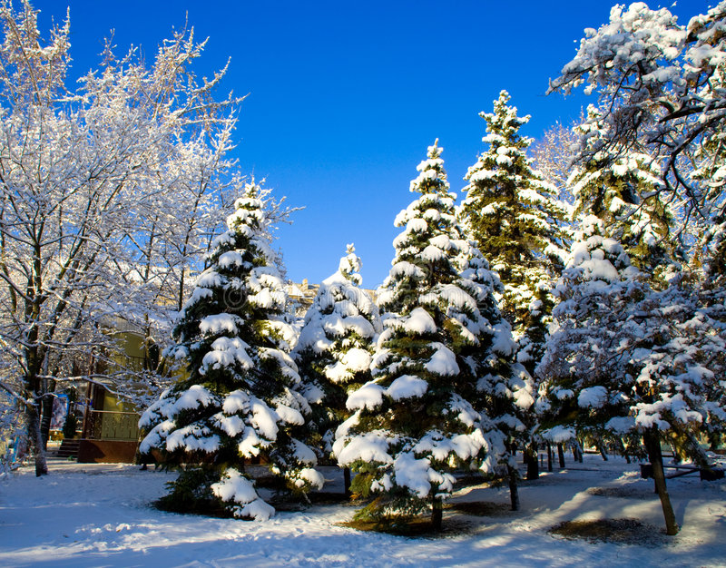 Pine trees covered in snow royalty free stock image