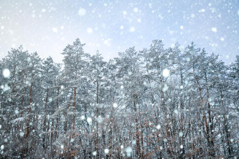 Pine trees covered with snow on frosty evening. Beautiful winter panorama. Winter are coming. Branches of pine and trees. Covered with snow. The first snow stock image