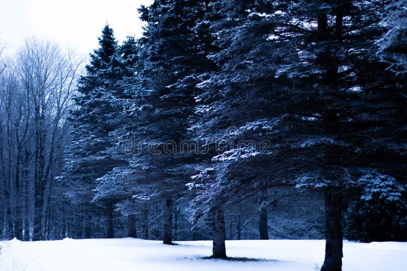 Pine Trees Covered with Snow. Multiple trees from a winter setting in a row with a colder feel stock photos
