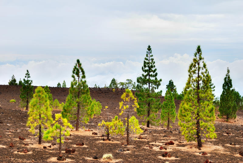 Download Pine Trees On The Edge Of Teide National Park Stock Photo - Image: 22534136