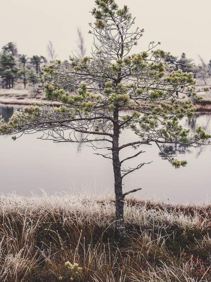 Pine Trees in Field of Kemeri moor in Latvia with a Pond in a Ba stock image