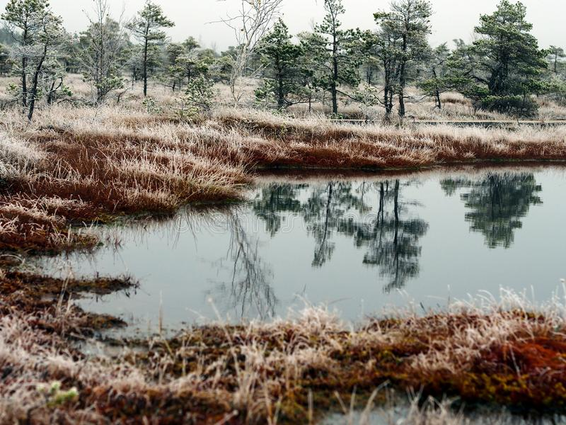 Pine Trees in Field of Kemeri moor in Latvia with a Pond in a Foreground royalty free stock photography