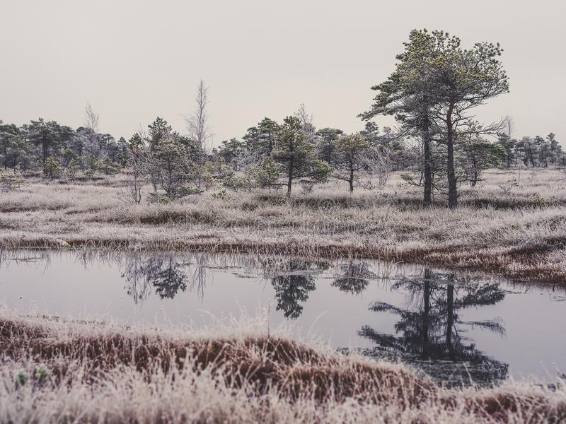 Pine Trees in Field of Kemeri moor in Latvia with a Pond in a Foreground - vintage look edit royalty free stock photography