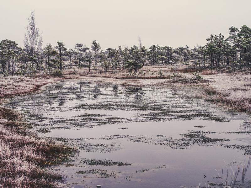 Pine Trees in Field of Kemeri moor in Latvia with a Pond in a Foreground - vintage look edit stock images