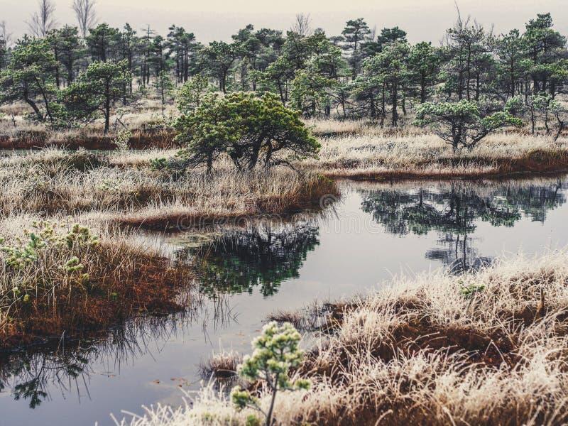 Pine Trees in Field of Kemeri moor in Latvia with a Pond inbetween of them - vintage look edit stock image
