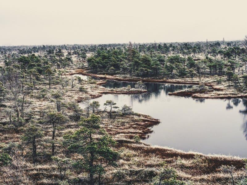 Pine Trees in Field of Kemeri moor in Latvia with a Pond inbetween of them - vintage look edit stock images