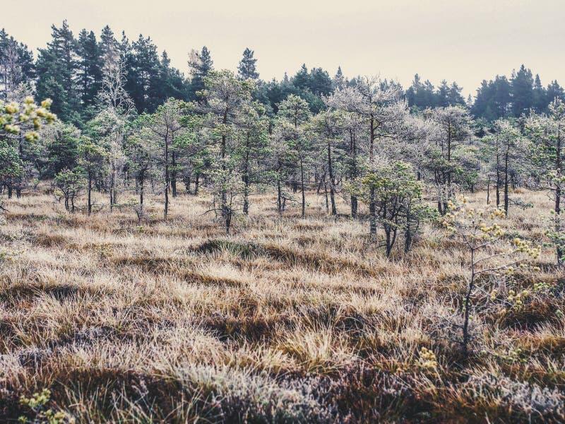 Pine Trees in Field of Kemeri moor in Latvia - Vintage look edit stock photos