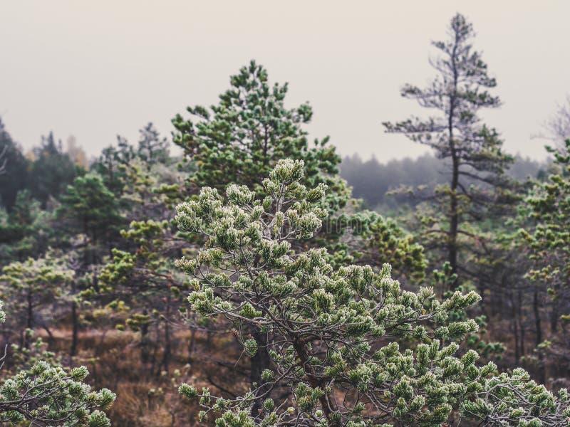 Pine Trees in Field of Kemeri moor in Latvia - Vintage look edit stock image