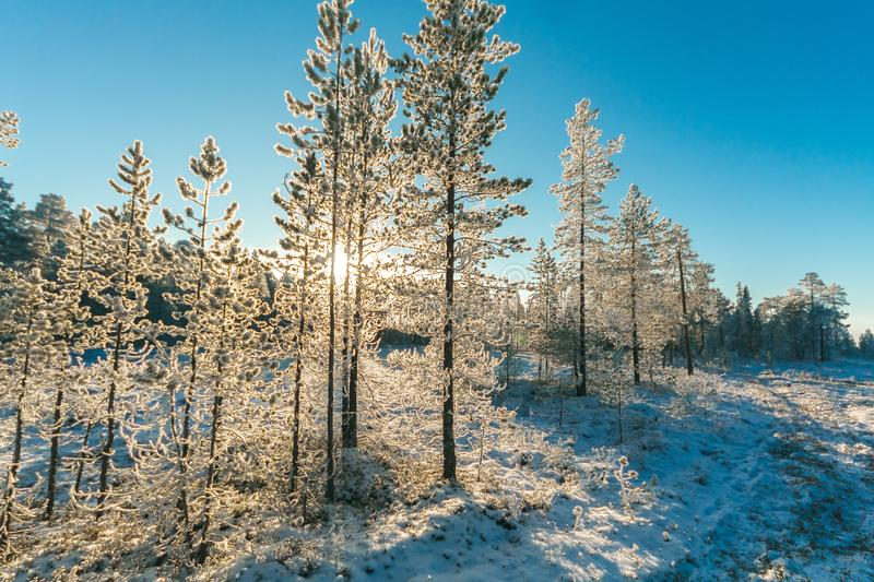 Pine Trees Field With Snow royalty free stock photos