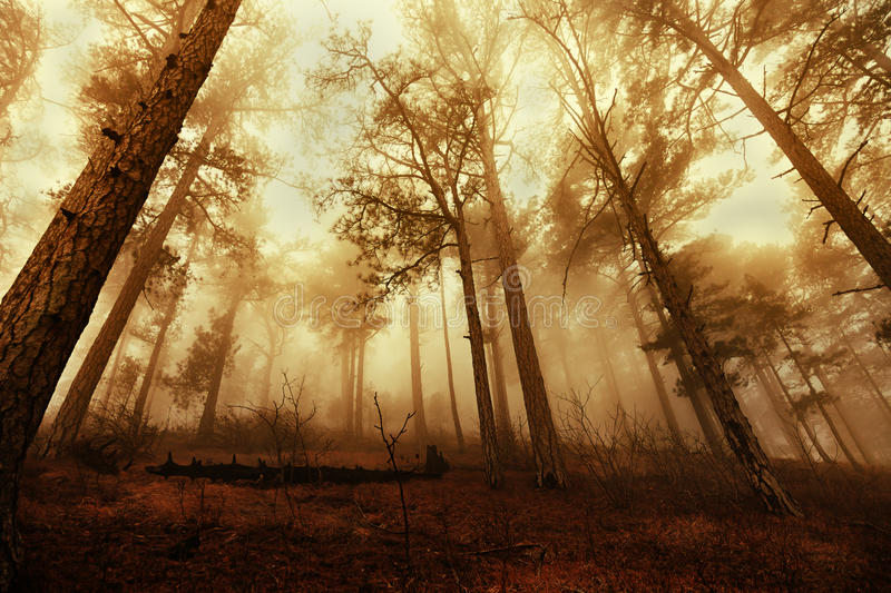 Pine trees in the fog. Tall pine trees in the fog royalty free stock photo