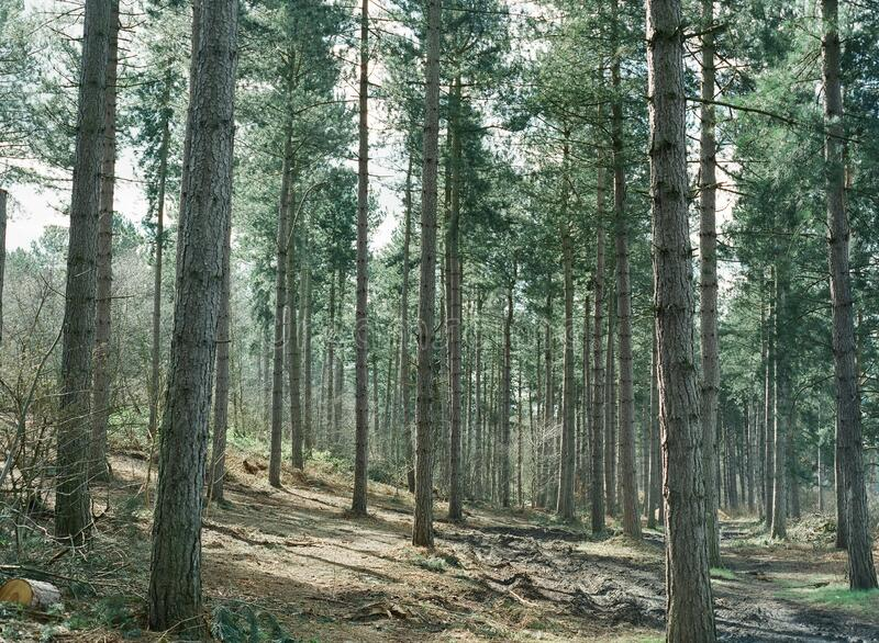 Pine Trees In Forest Free Public Domain Cc0 Image