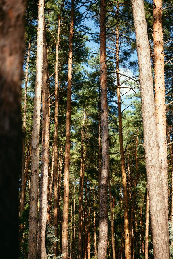 Pine trees in forest summer autumn nature outdoors. Concept royalty free stock photography