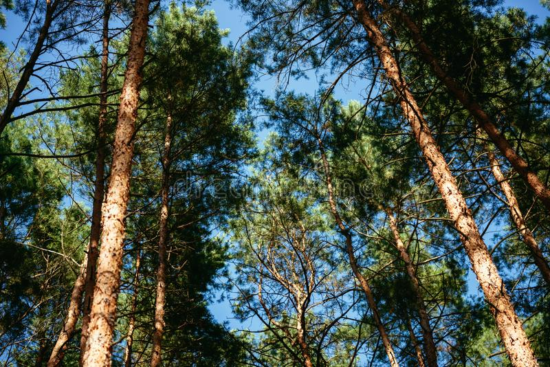 Pine trees in forest summer autumn nature outdoors. Concept stock image