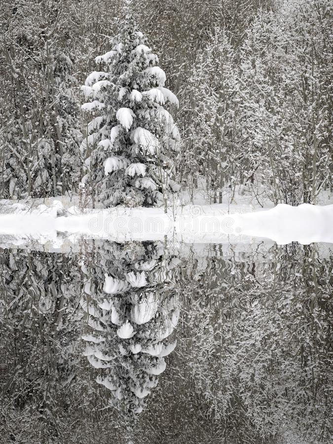 Pine Trees Forest Winter Covered in Fresh Snow Wilderness reflect reflection water pond lake stock images