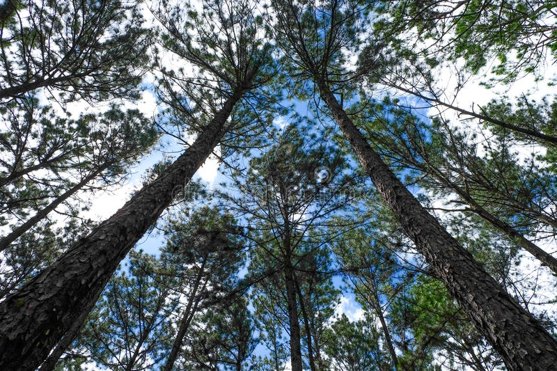 The pine trees stock image