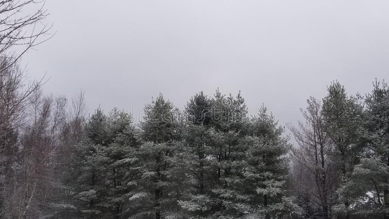 Pine trees after a fresh layer of snow stock images