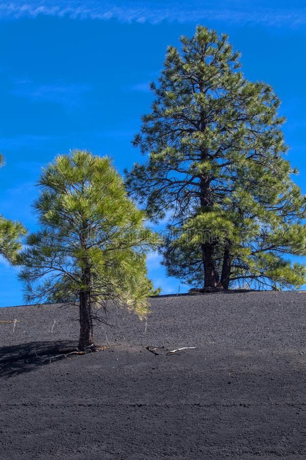 Pine Trees Growing in Volcanic Ash at Sunset Crater Volcano National Monument, Arizona. Off the beaten path stock photo