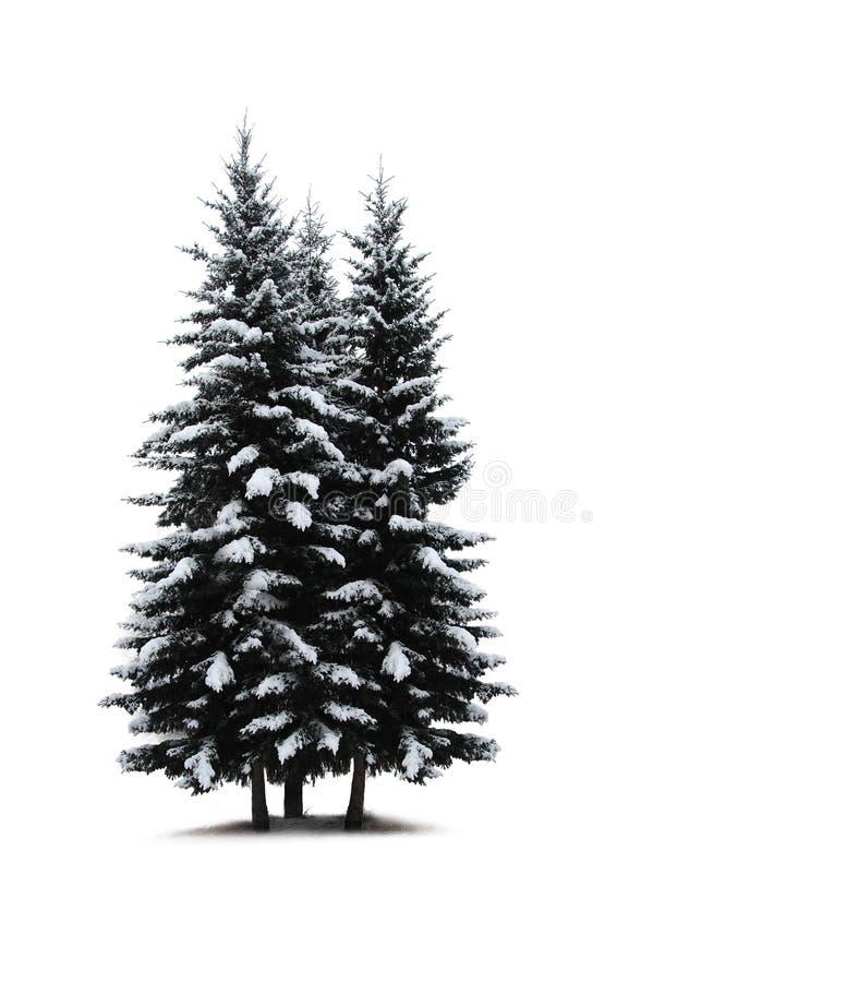 Pine trees isolated stock photos