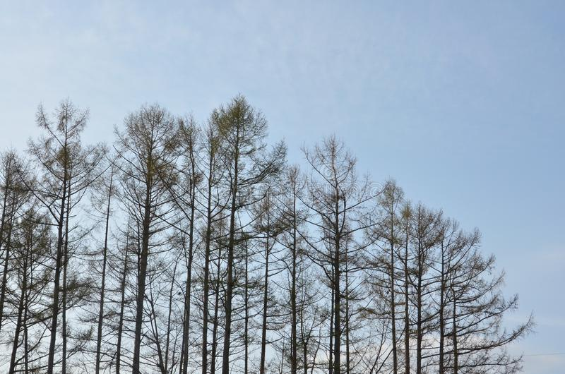 Many Pine Trees in Japan royalty free stock photos