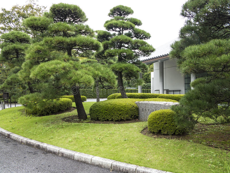 Pine trees in Japanese garden royalty free stock photography