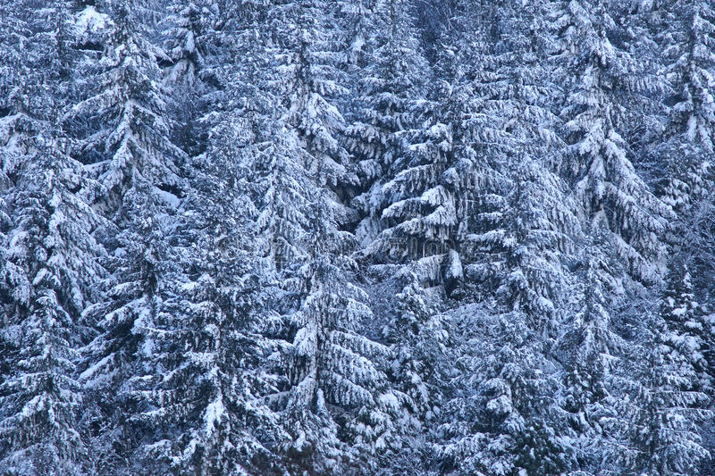 Download Pine trees laden with snow stock image. Image of powder - 12516889
