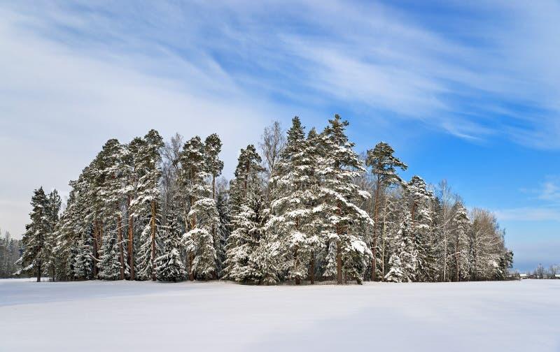 Pine trees near winter park
