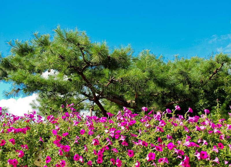 Download Pine Trees With Nice Violet Flowers. Stock Image - Image: 22062935