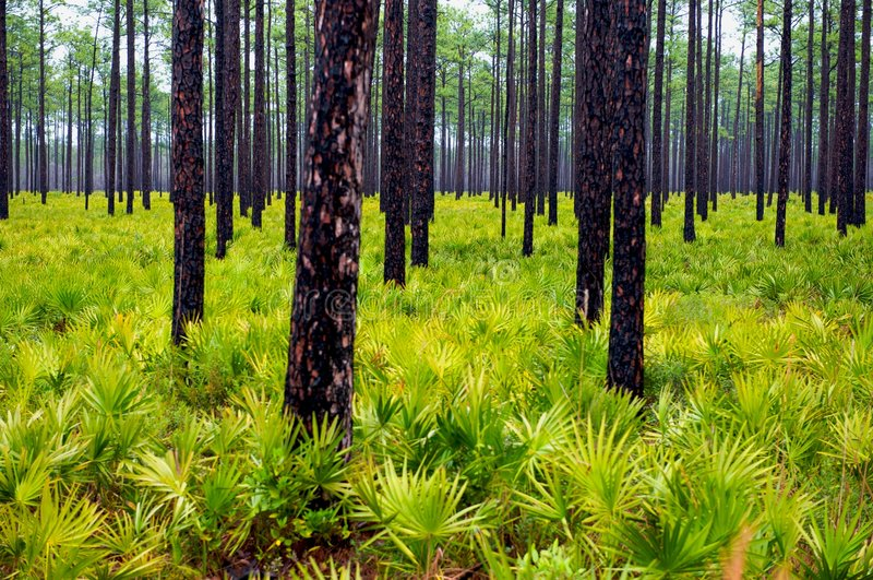 Download Pine Trees and Palmettos stock image. Image of outdoors - 8446225