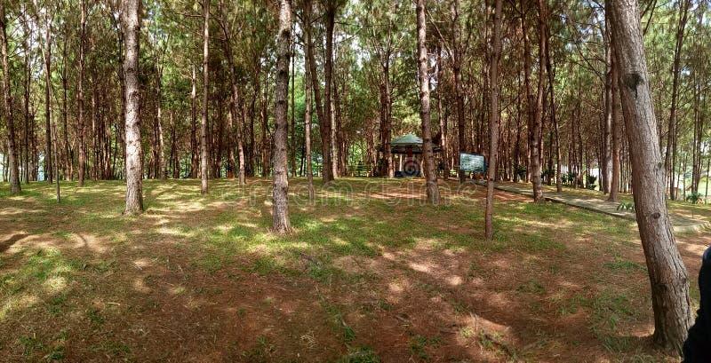 Pine Trees Park royalty free stock image