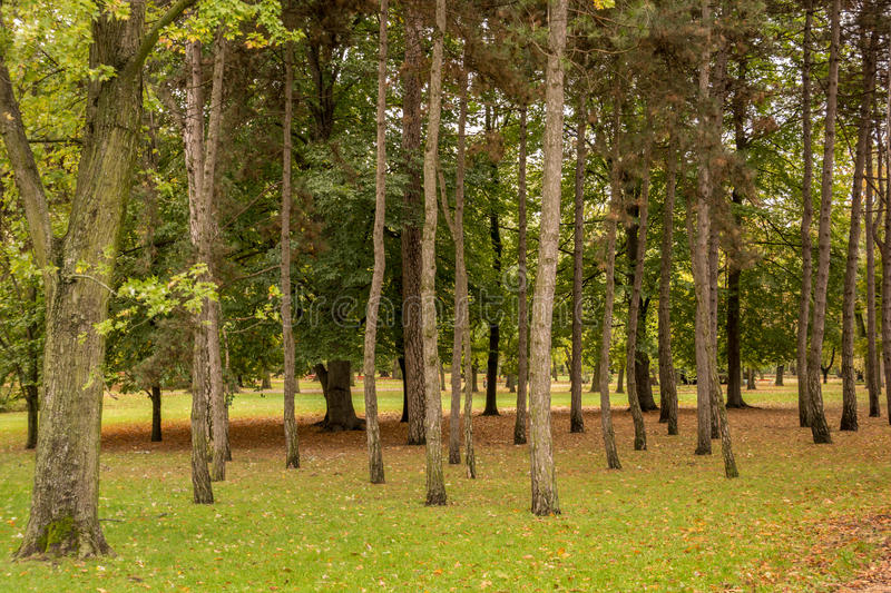 Pine trees in a park stock images