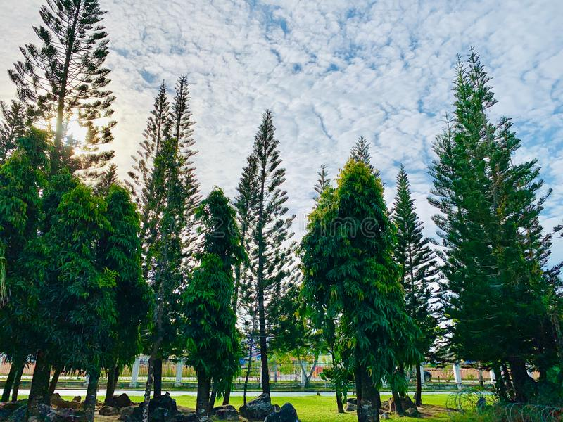 Pine trees in the park stock photos