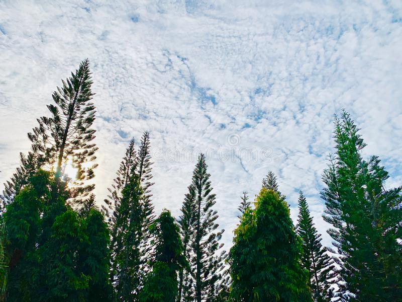 Pine trees in the park stock photography