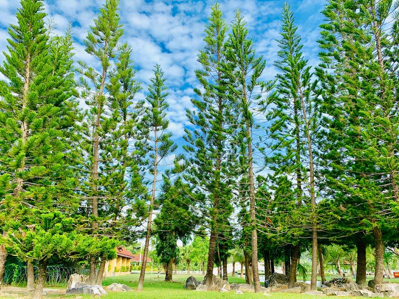 Pine trees in the park royalty free stock photo
