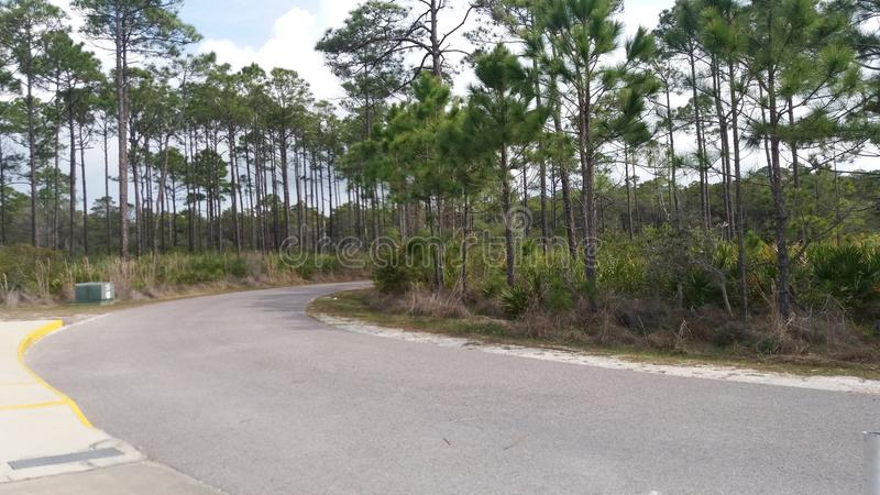Pine Trees royalty free stock photo
