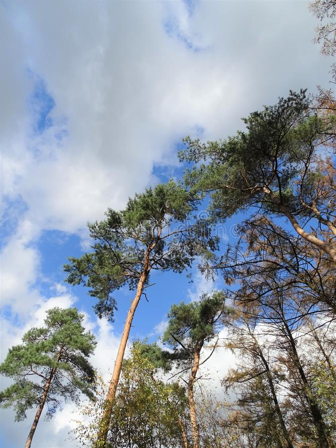 Pine trees rising up in the clouds. Green pine trees rising up in the white clouds stock photo