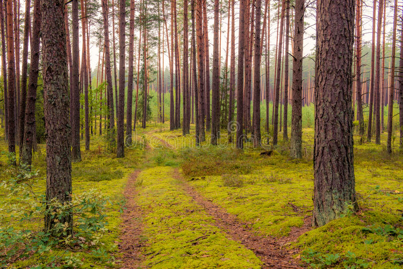 Pine trees and road. Dense tree pine forest and road path stock photography