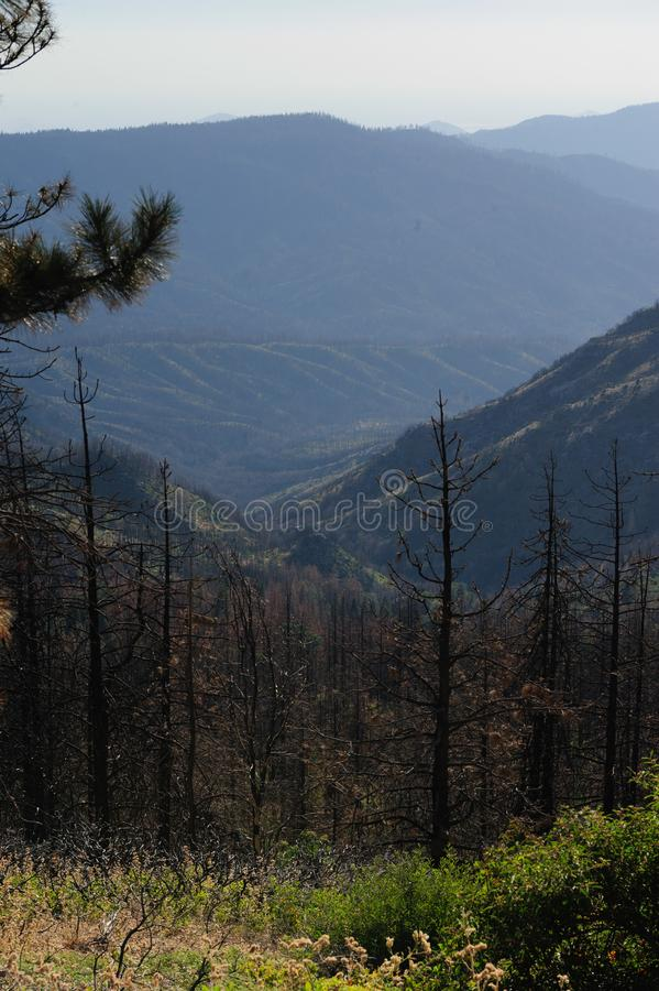Pine Trees In Sequoia National Park Stock Photo - Image of ...