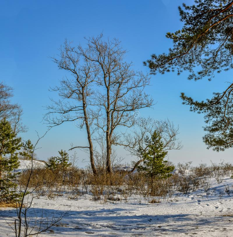 Pine trees on the shore of the Gulf of Finland on a Sunny spring stock photography