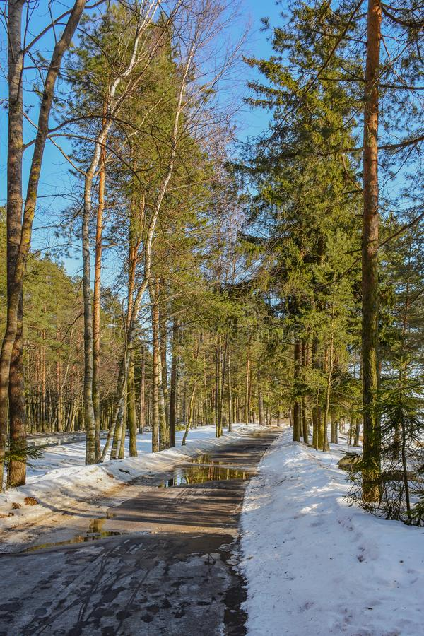 Pine trees on the shore of the Gulf of Finland on a Sunny spring stock images