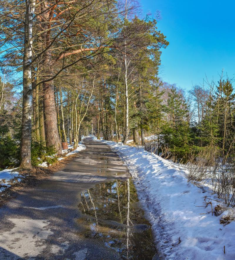 Pine trees on the shore of the Gulf of Finland on a Sunny spring royalty free stock photography