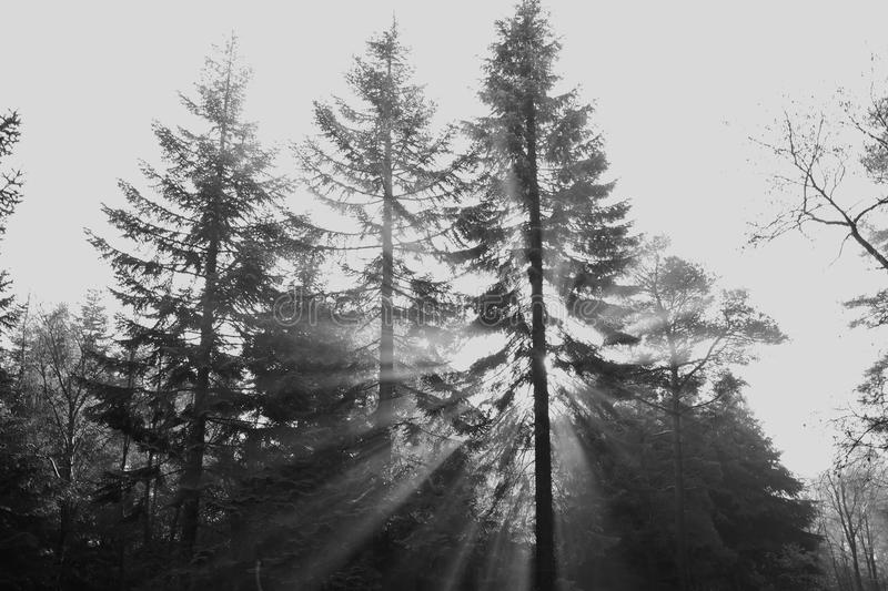 Pine trees silhouette in shafts of sunlight stock image