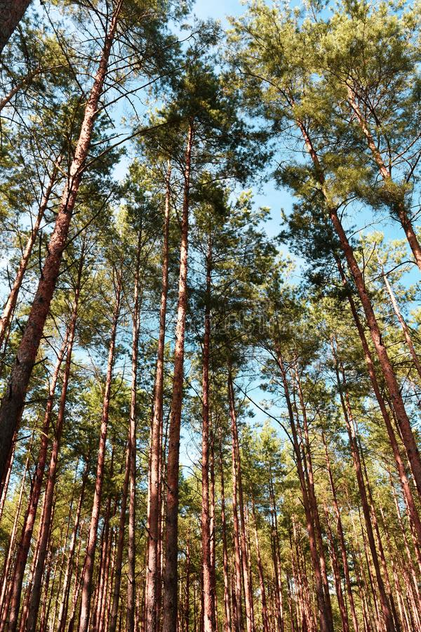 Pine trees on the sky background. Pine tall trees on the sky background in the forest in sunny fay royalty free stock photos