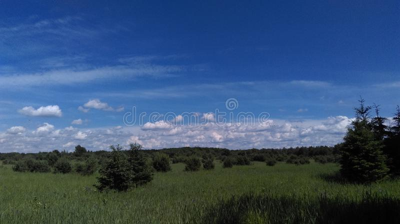 Pine trees and sky royalty free stock photo