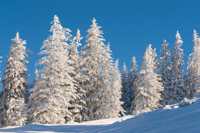Pine trees in snow with blue sky royalty free stock image